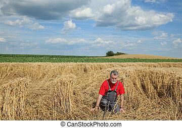 endommagé, blé, agriculture, champ, désespéré, paysan