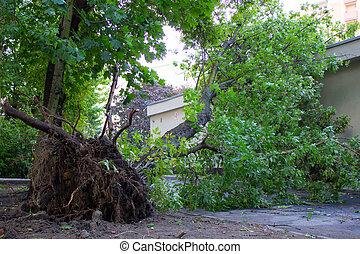 endommagé, déraciné, après, arbre, orage, vent