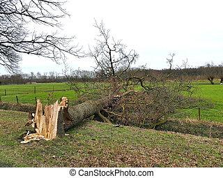 endommagé, pré, arbre, après, ouragan, cassé, orage, vent