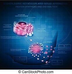 endoplasmic, golgi, nätmage