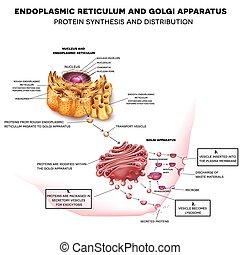 endoplasmique, reticulum, appareil, golgi