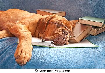 endormi, chien, fatigué