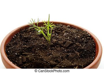 endro, planta, em, flores, terras