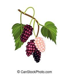 ene, vektor, lyserød, umodne, branch, berries, moden, ...