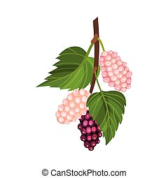 ene, vektor, lyserød, umodne, branch, berries, mulberry, rød...