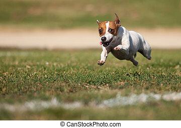 energético, terrier russell gato, perro, corre, en la hierba