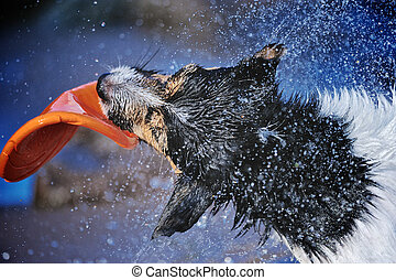 Energetic Dog - Jack Russell terrier playing with flying ...