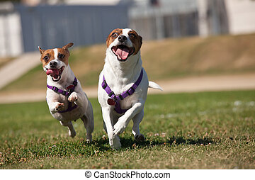 Energetic Jack Russell Terrier Dogs Running on the Grass...