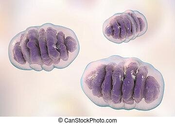 energie, erzeugen, ogranelles, mitochondrion, zellular