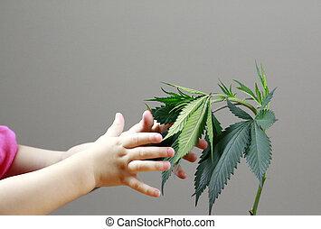 enfant, et, adulte transmet, are, tenue, marijuana, pousse feuilles, (, cannabis), chanvre, plant.