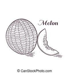 Engaved melon vector illustration