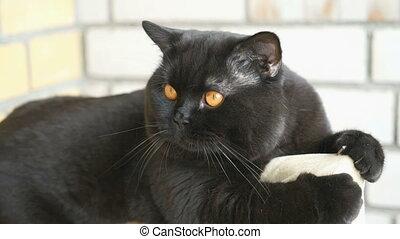 Altan, kat, sort, engelsk, siddende. Øjne, siddende,... stock ...