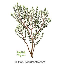 engelsk, timian, urt