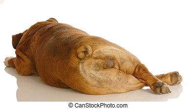 engelskor bulldogg, från, den, luffare, eller, bak
