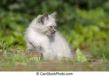 Englisch Langhaar Kitten - Junges Englisch Langhaar K?tzchen...