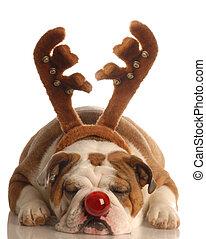 englische bulldogge, angezogene , als, rudolph rote gerochene ren