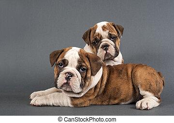 englische bulldogge, hundebabys