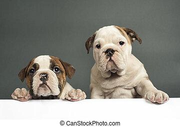 englische bulldogge, puppies.