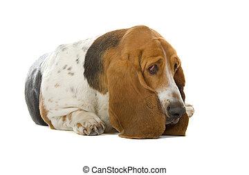 english basset hound isolated on a white background