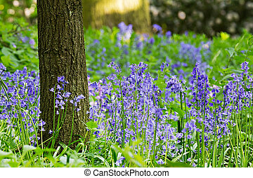 English bluebell wood in spring