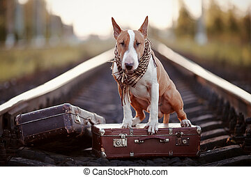 English bull terrier on rails with suitcases. - The bull...