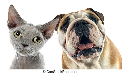 english bulldog and devon rexin front of white background