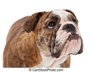 English Bulldog Closeup Serious Expression - A closeup of a...