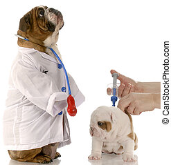 english bulldog doctor standing beside puppy getting...