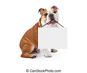 English Bulldog Holding Blank Sign - A young nine month old...