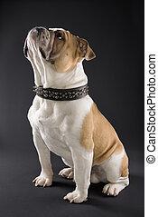 English Bulldog in spiked collar. - Sitting English Bulldog ...