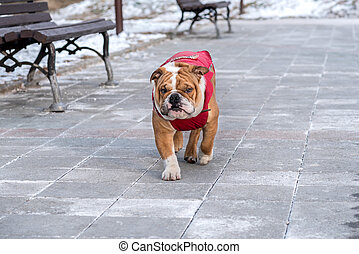 English bulldog in the park