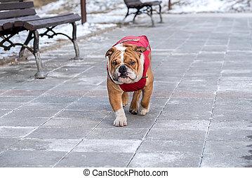English bulldog in the park