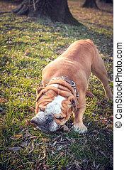 English bulldog in the wood