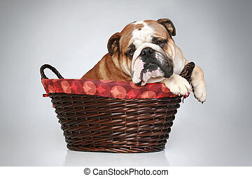 English bulldog in wattled basket
