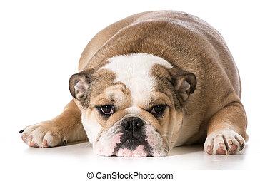 english bulldog laying down resting - 8 months old