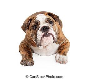 English Bulldog Laying Looking Up - English Bulldog laying...