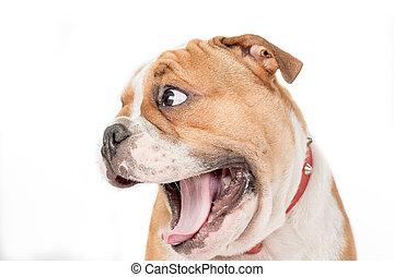 English bulldog puppy isolated on white background