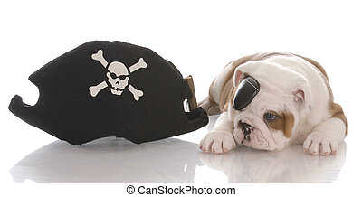 english bulldog puppy dressed up like a pirate