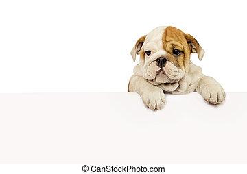 English bulldog puppy - English Bulldog puppy with white ...