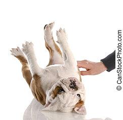 english bulldog puppy getting a tummy rub
