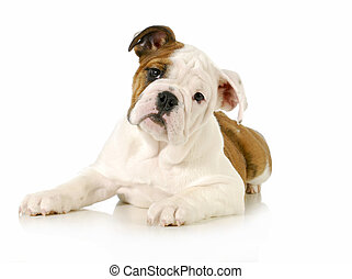 english bulldog puppy laying down looking at viewer on white...