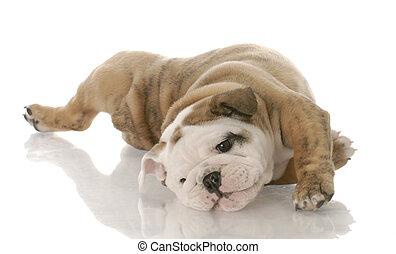 english bulldog puppy laying on her back - nine weeks old