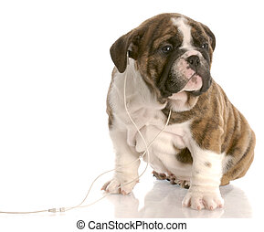 english bulldog puppy listening to headphones on white background