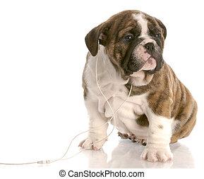 english bulldog puppy listening to headphones on white background