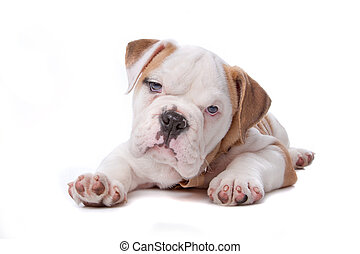 English Bulldog puppy lying down in front of white...