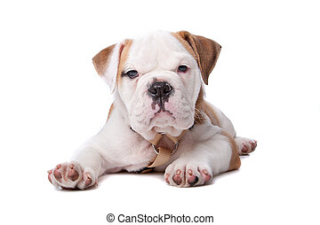 English Bulldog puppy lying down in front of white ...