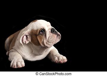 English bulldog puppy on black background