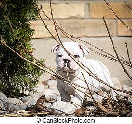 english bulldog puppy playing in the garden