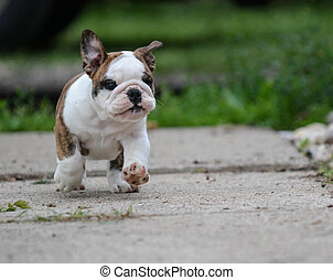 english bulldog puppy running on the sidewalk