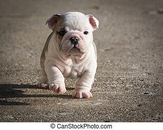 english bulldog puppy running outside - 6 weeks old